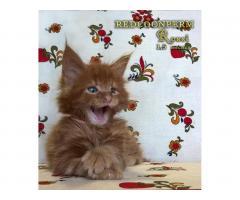 Котёнок мейн кун красный. Шоу класс. Из питомника - Image 7