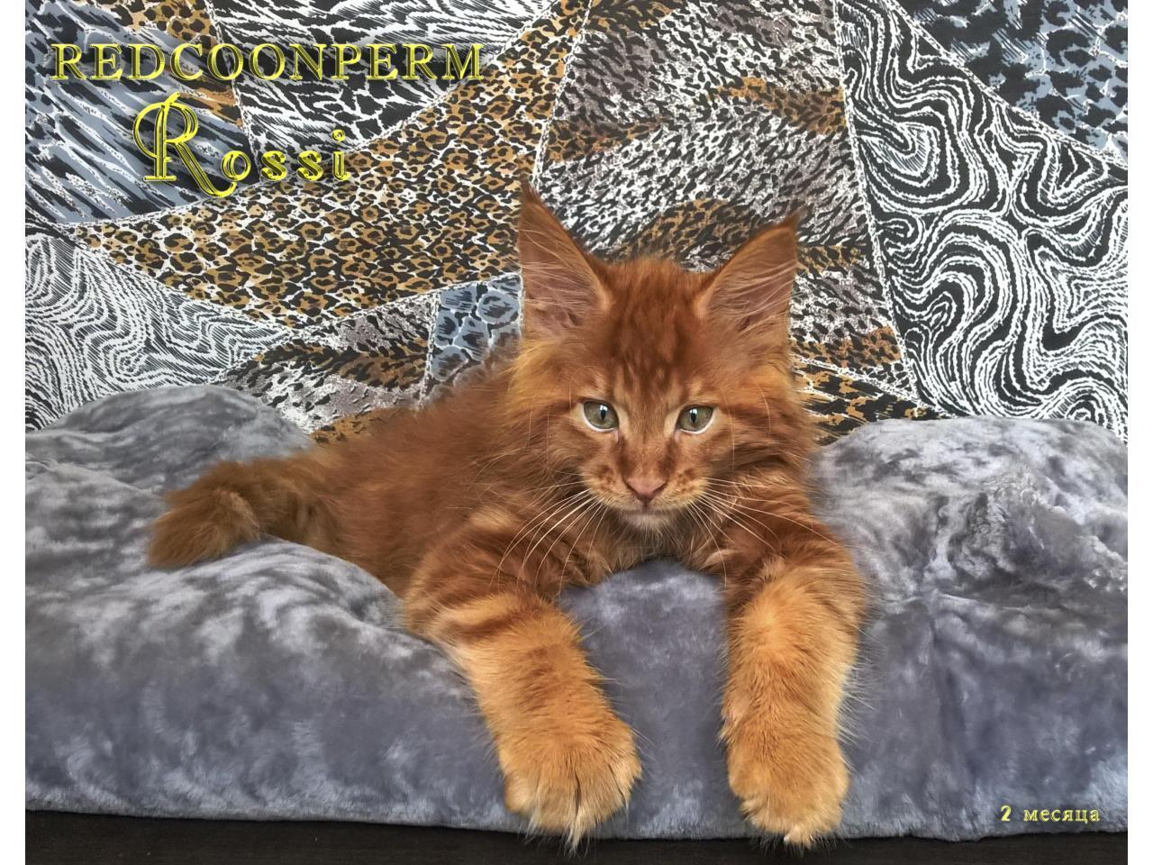 Котёнок мейн кун красный. Шоу класс. Из питомника - 8