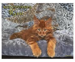 Котёнок мейн кун красный. Шоу класс. Из питомника - Image 8