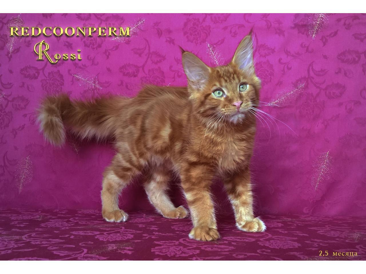 Котёнок мейн кун красный. Шоу класс. Из питомника - 9