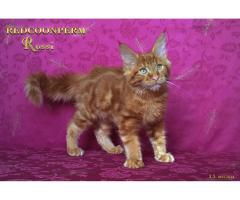Котёнок мейн кун красный. Шоу класс. Из питомника - Image 9