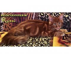 Котёнок мейн кун красный. Шоу класс. Из питомника - Image 10