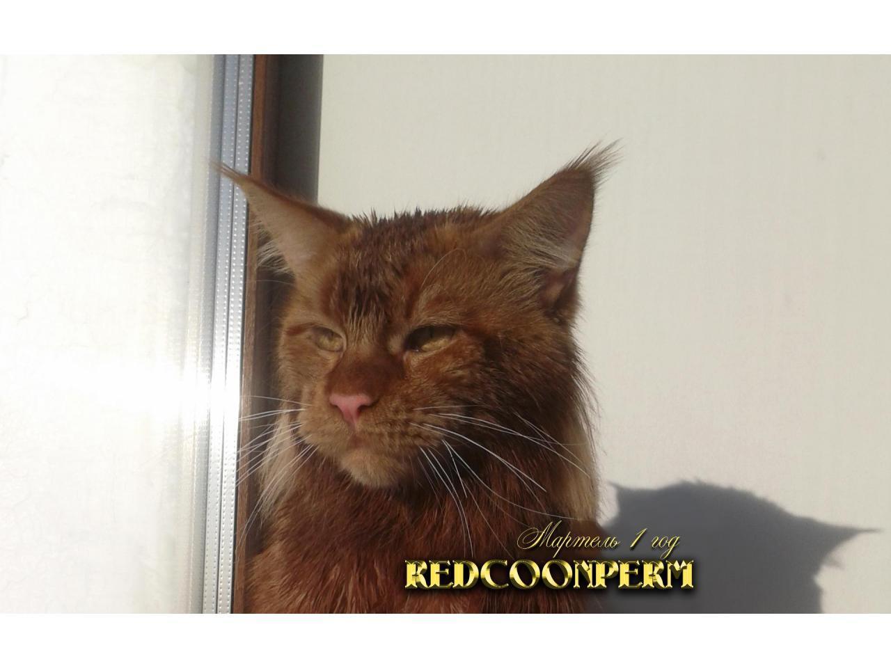 Котёнок мейн кун красный. Шоу класс. Из питомника - 11