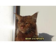 Котёнок мейн кун красный. Шоу класс. Из питомника - Image 11