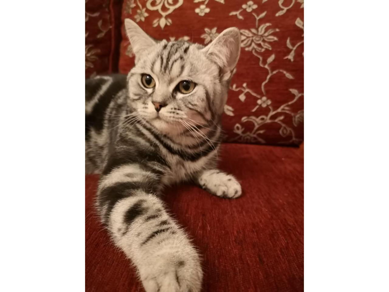 Котята 6 месяцев породистые, регистрированы с микрочипом - 1