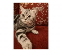 Котята 6 месяцев породистые, регистрированы с микрочипом - Image 1