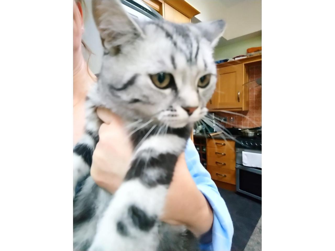 Котята 6 месяцев породистые, регистрированы с микрочипом - 3