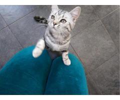 Котята 6 месяцев породистые, регистрированы с микрочипом - Image 6
