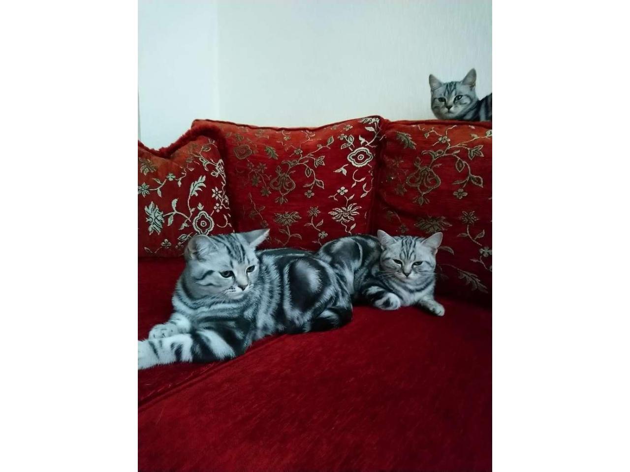 Котята 6 месяцев породистые, регистрированы с микрочипом - 7