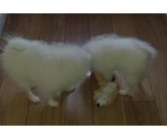 Pomeranians - Image 2