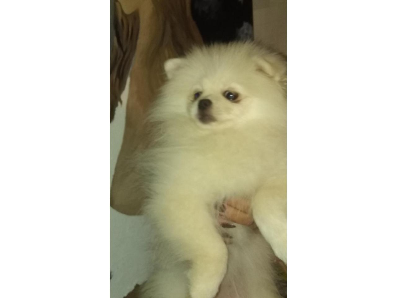Pomeranians - 3
